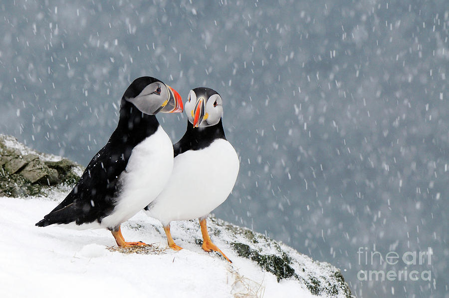 Puffins Pair in Snowfall by Jan Vermeer