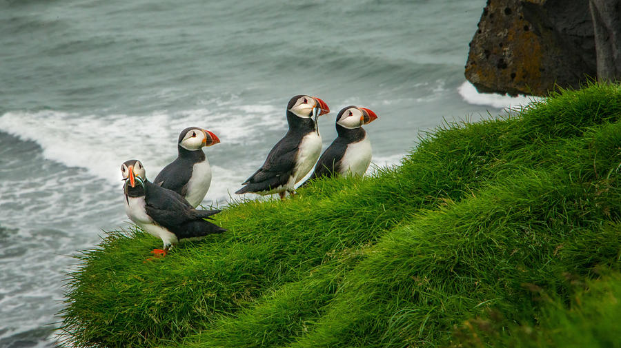 Puffin Photograph - Puffins Returning From Fishing by Gloria Matyszyk