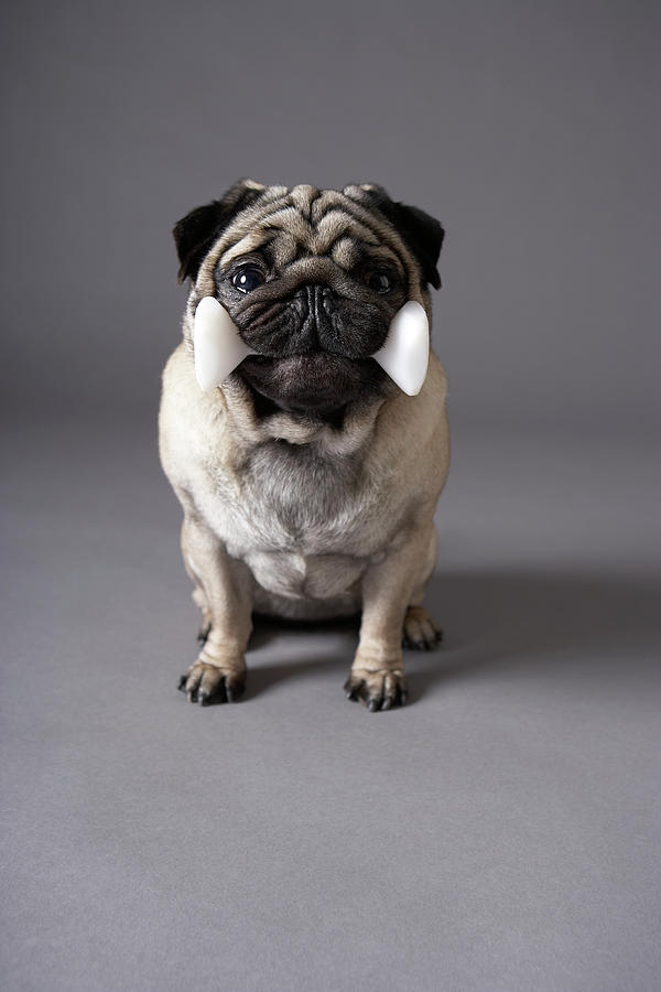 Pug Dog Holding Toy Bone, Grey Background Photograph by Chris Amaral