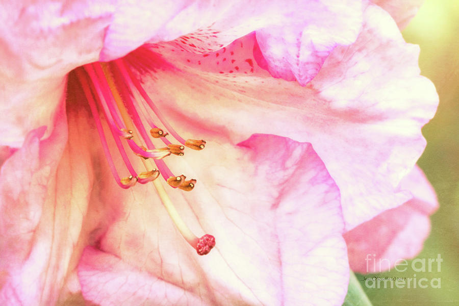 Pacific Photograph - Puget Sound Rhododendron by Jean OKeeffe Macro Abundance Art