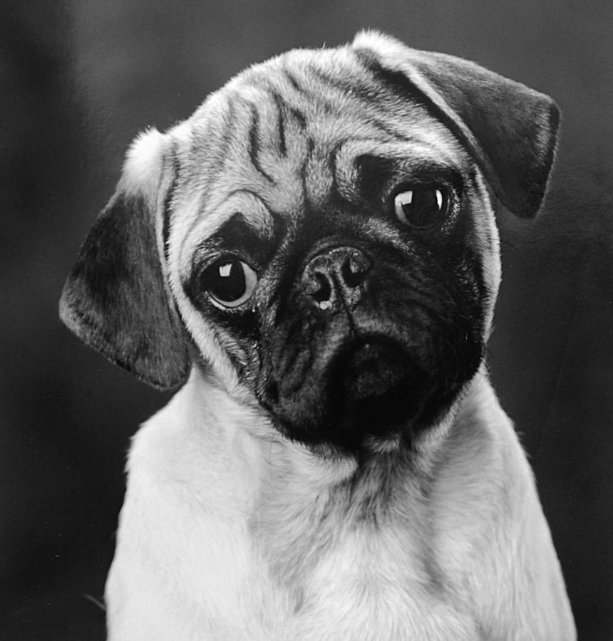Pug Photograph - Pugged by Jill Reger