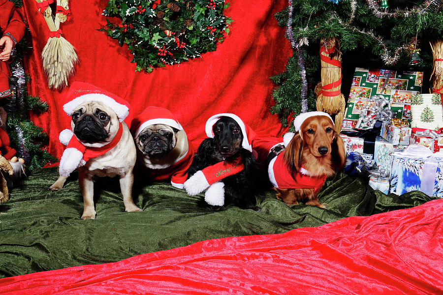 Pugs And Dachshounds Dressed As Father Christmas Photograph