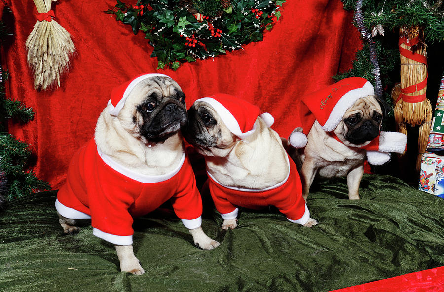 Pugs Dressed As Father-christmas Photograph