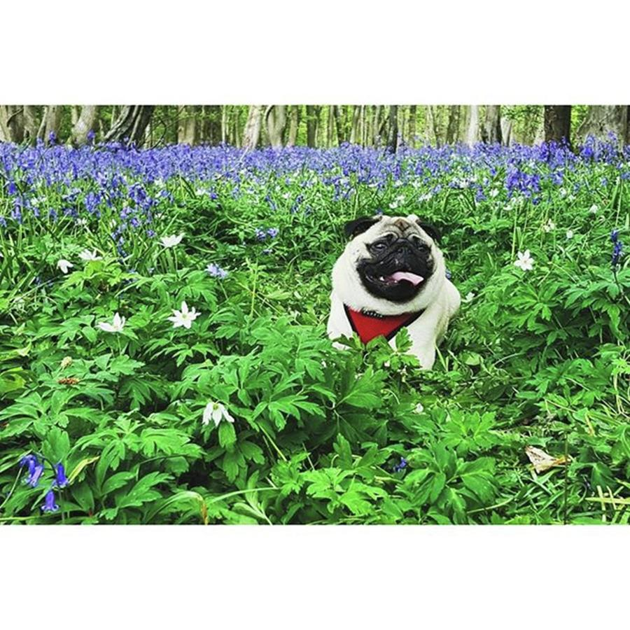 Nature Photograph - #pugstagram #pugsofinstagram #bluebell by Natalie Anne