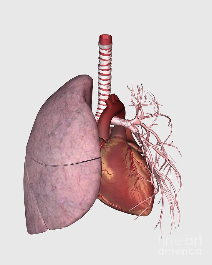 Pulmonary Circulation Of Human Heart Digital Art By Stocktrek Images