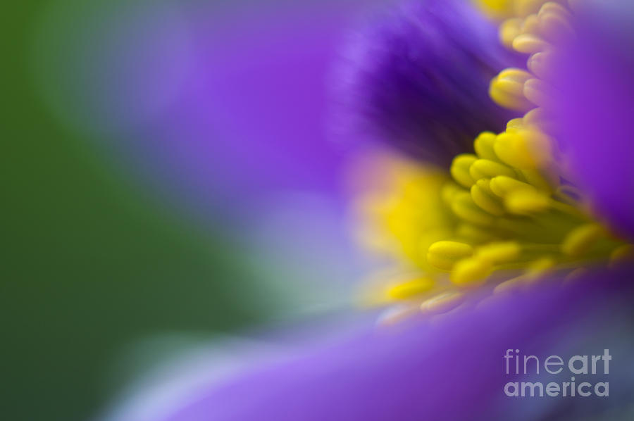 Flower Photograph - Pulsatilla by Silke Magino