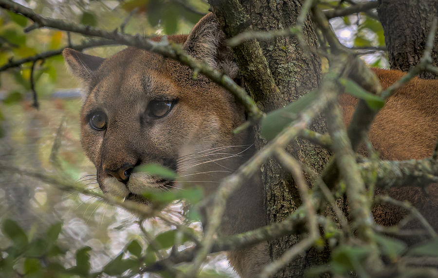 Expression Photograph - Puma Stalking by David Pine