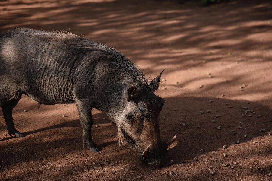 Pumba by Gareth Pickering