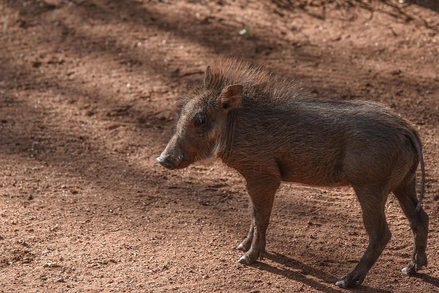 Pumba Jnr by Gareth Pickering