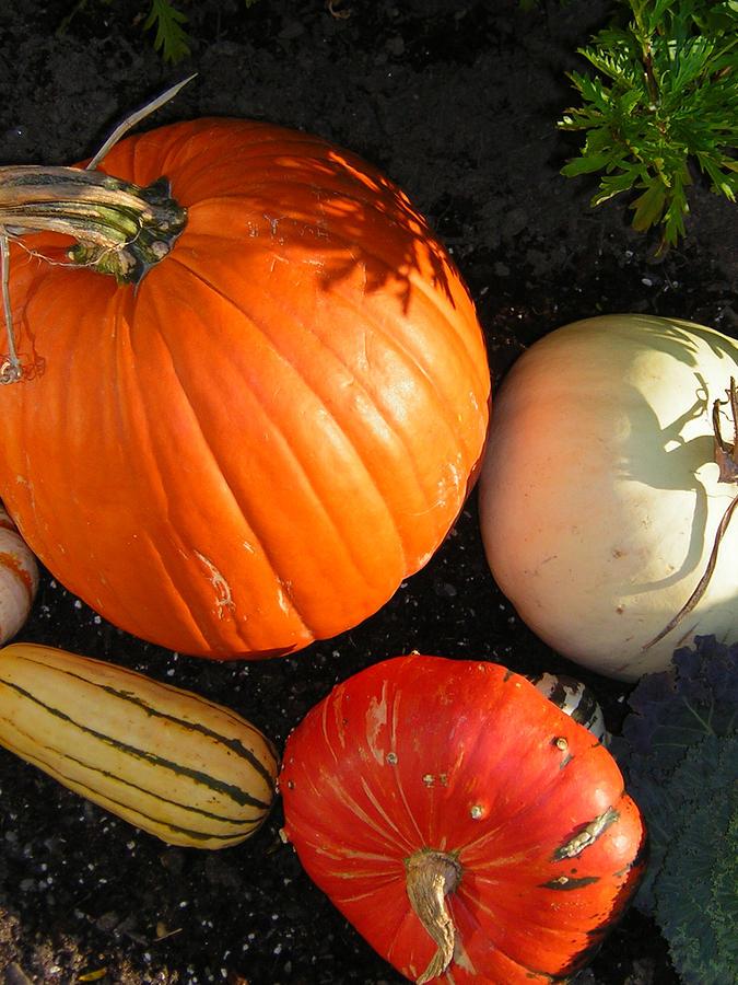 Pumpkins Photograph - Pumpkin by Heather Weikel
