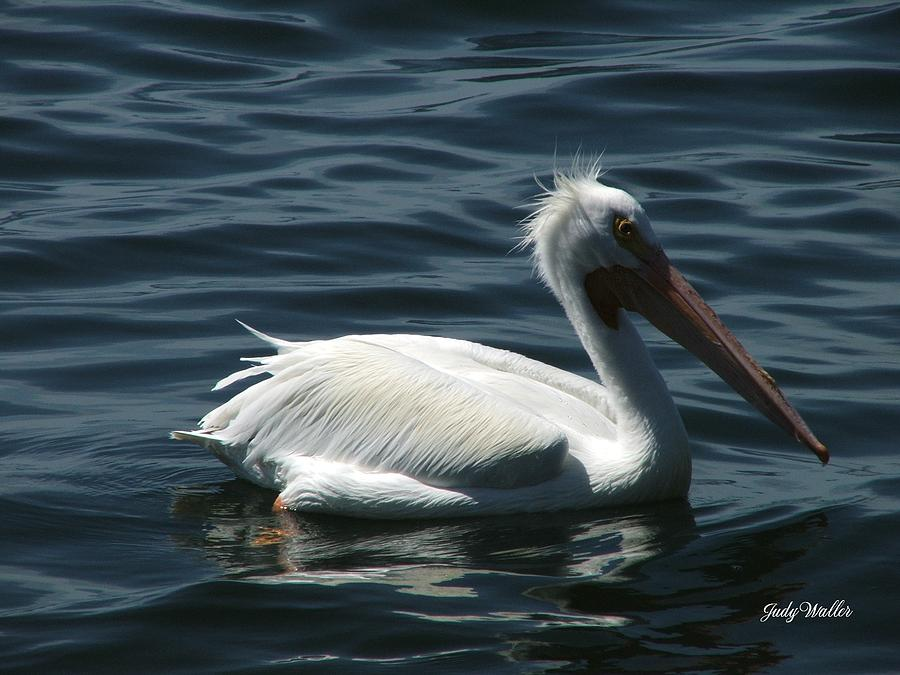 Birds Photograph - Punk Pelican - Side View by Judy  Waller
