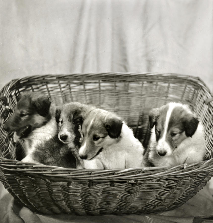 Vintage Photograph - Puppies Of The Past by Marilyn Hunt