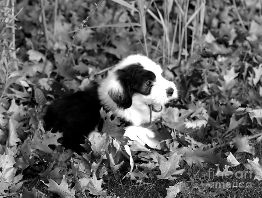 Old Photograph - Puppy In The Leaves by Kathleen Struckle