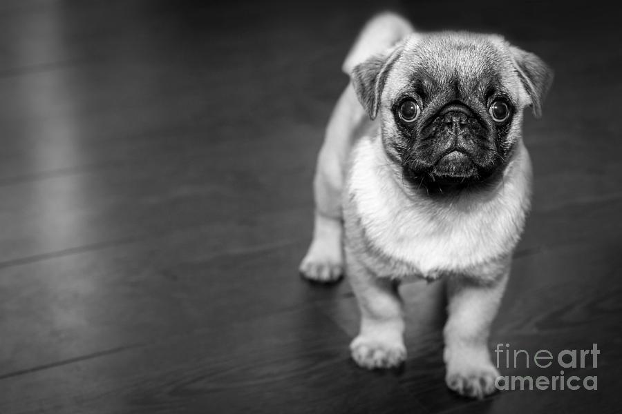 Puppy - Monochrome 2 by Jesse Watrous