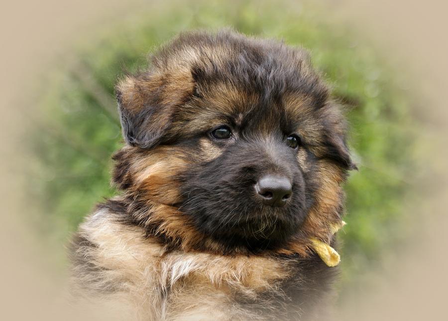 German Shepherd Photograph - Puppy Portrait II by Sandy Keeton