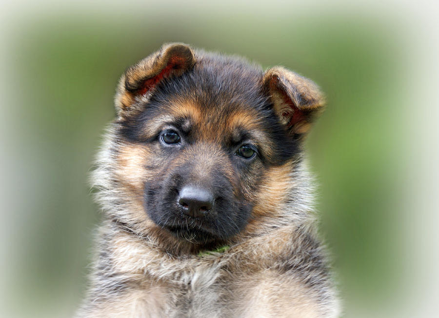 Puppies Photograph - Puppy Portrait by Sandy Keeton