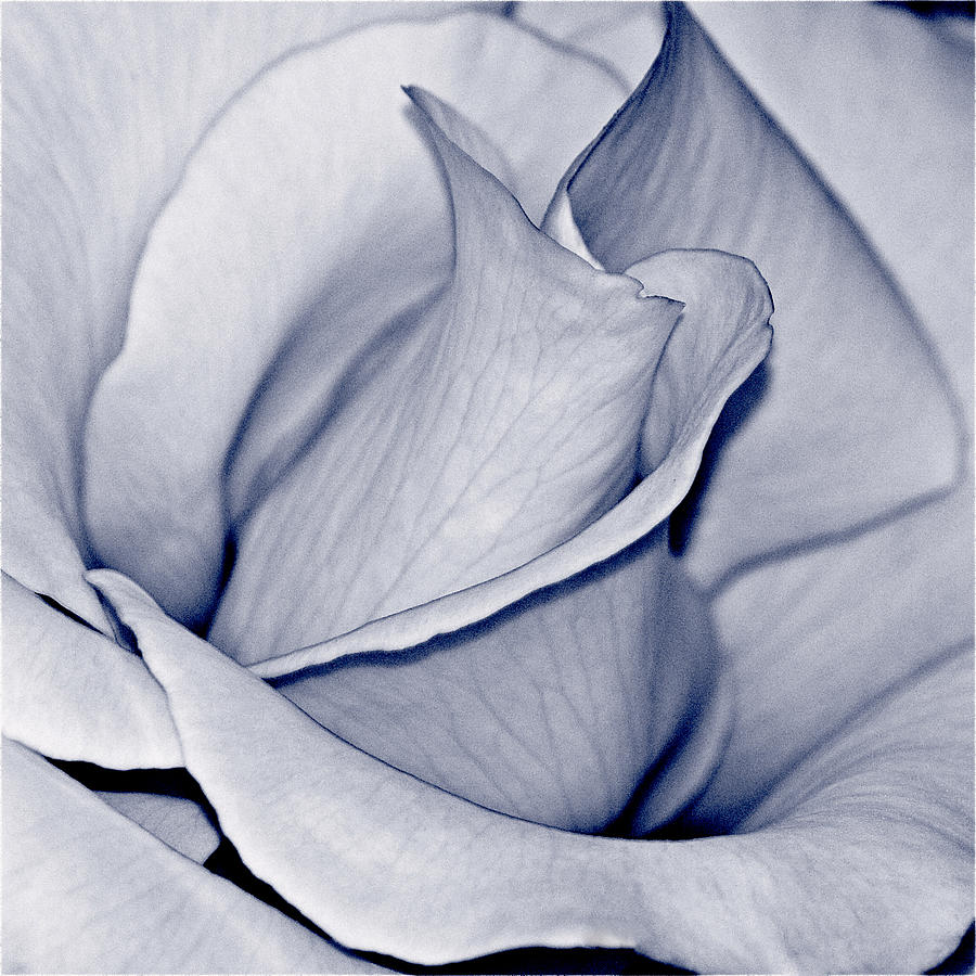 Rose Photograph - Pure by Bill Owen