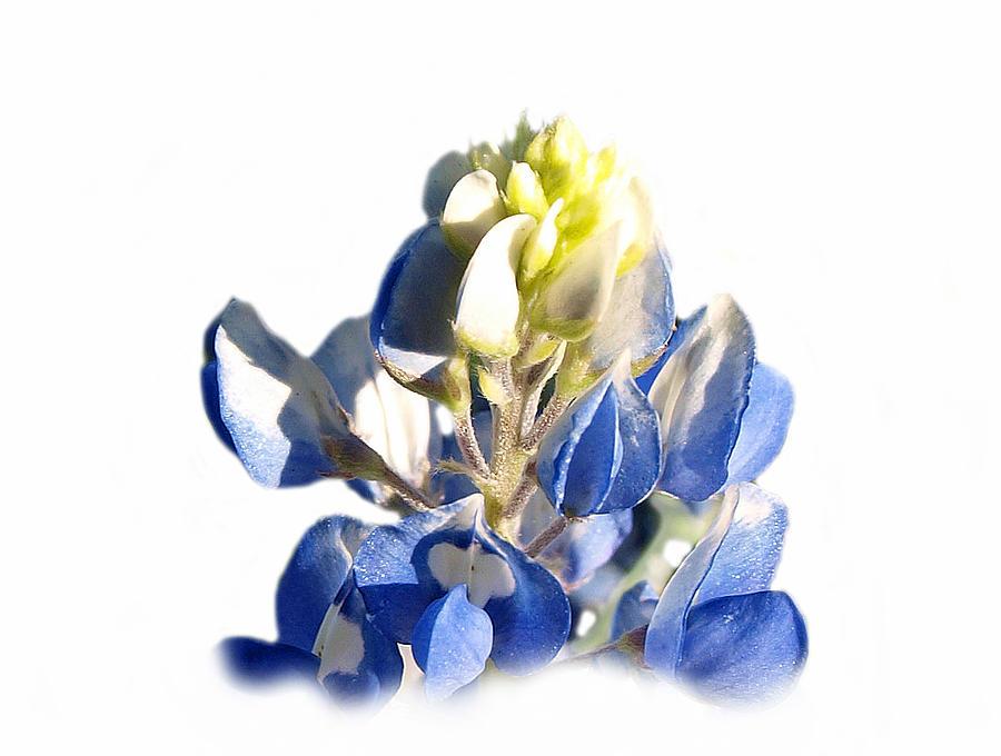 Floral Photograph - Pure Blue Bonnet by James Granberry