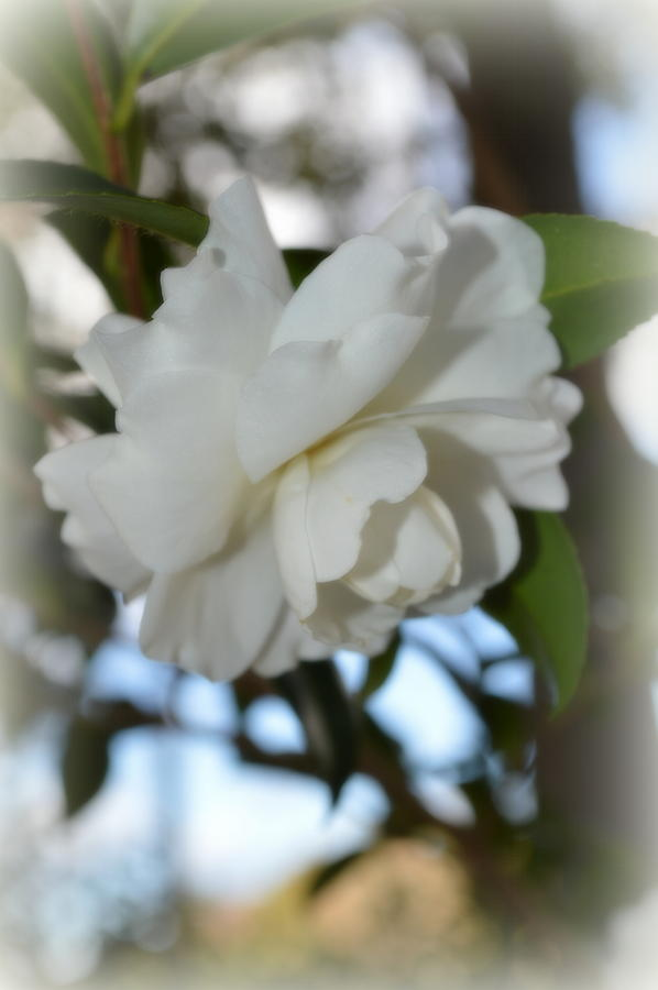 White Photograph - Pure Camelia by Linda Covino
