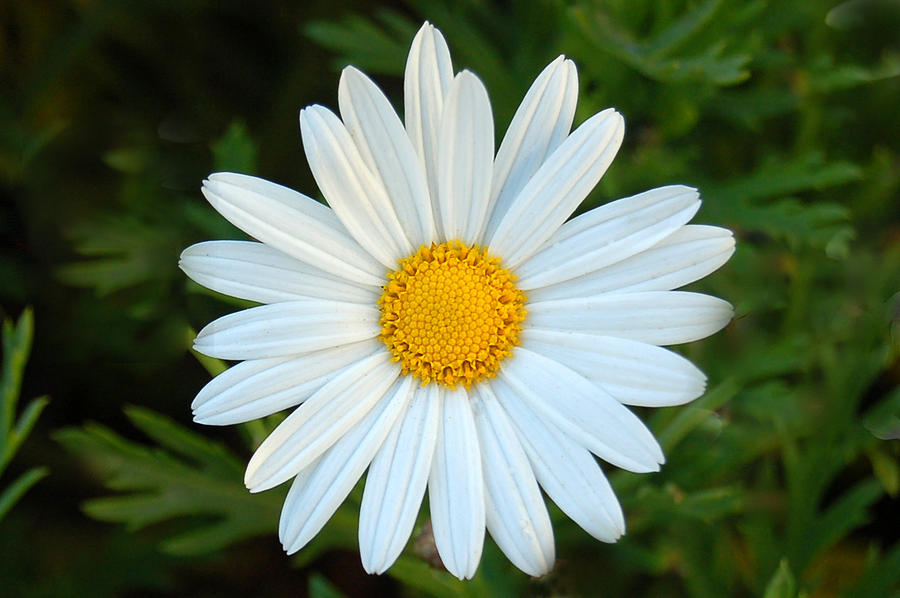 Pure Daisy Photograph By Pearson Photography
