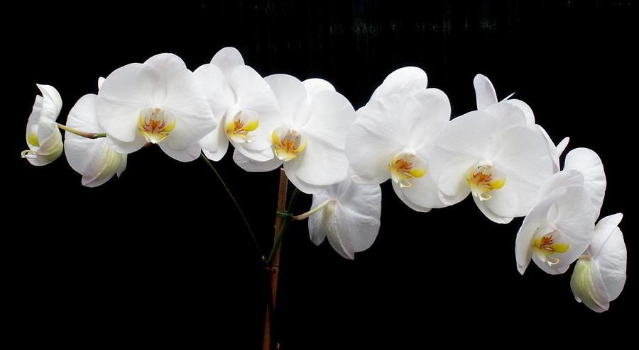 Orchid Photograph - Pure Orchid by Jeanette Oberholtzer