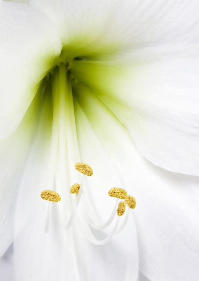 Lily Photograph - Pure White Amaryllis by Gillian Dernie