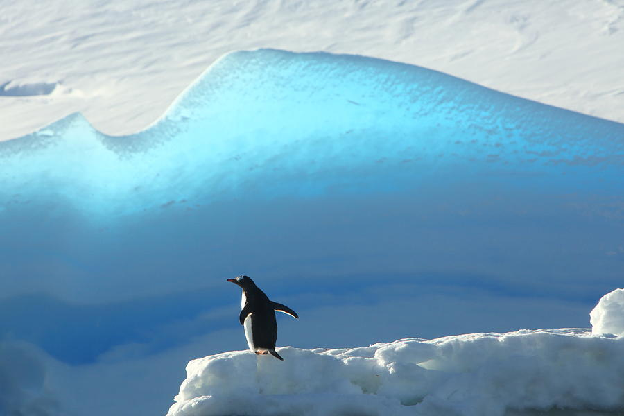 Gentoo Photograph - Purity by Bruce J Robinson