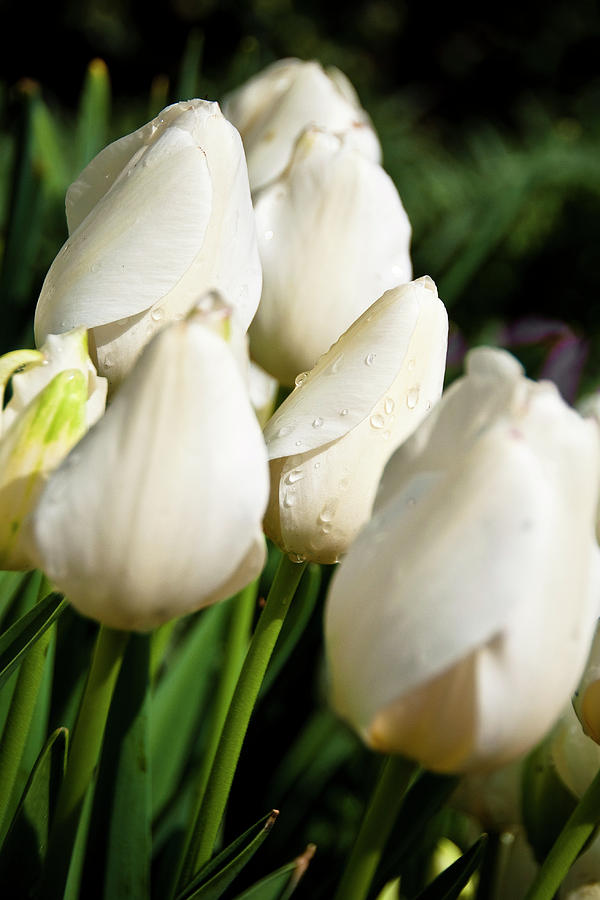 Tulip Photograph - Purity II by Tamyra Ayles