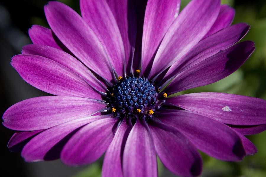 Flower Photograph - Purple African Daisy by Robert  Torkomian
