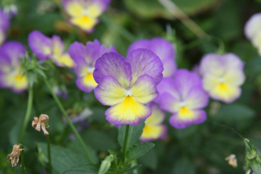 Flowers Photograph - Purple And Gold by Jonathan Kotinek