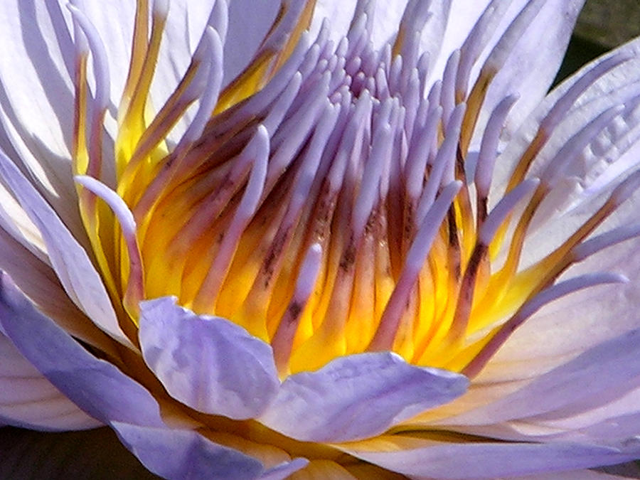Water Lily Photograph - Purple and Gold Lily by John Lautermilch