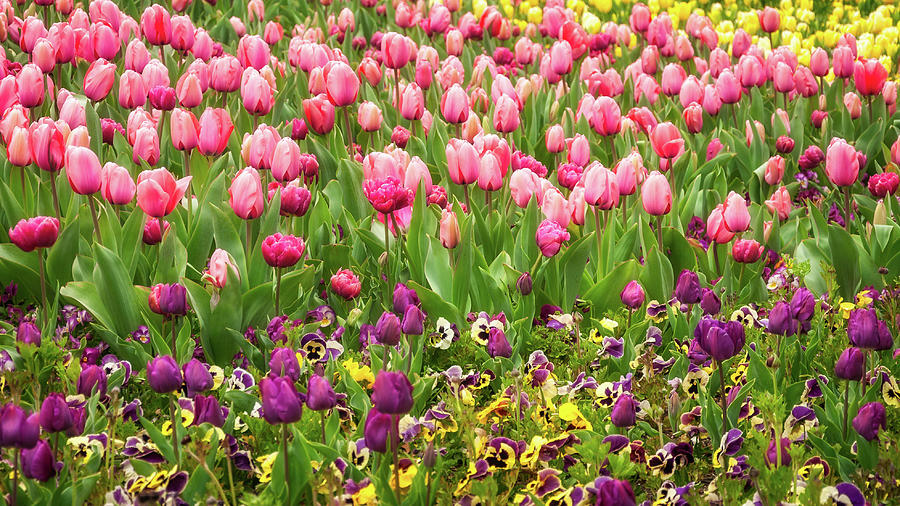 Australia Photograph - Purple And Pink Tulips In Canberra In Spring by Daniela Constantinescu