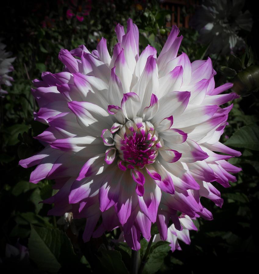 California Photograph - Purple And White Dahlia by Sanda Kateley