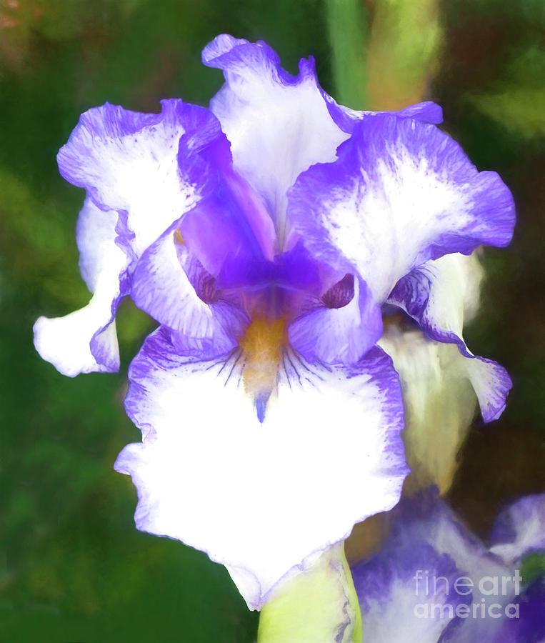 Iris Photograph - Purple And White Iris by Jim And Emily Bush
