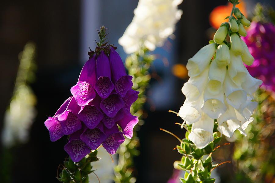Sony Photograph - Purple And White by Nik Watt