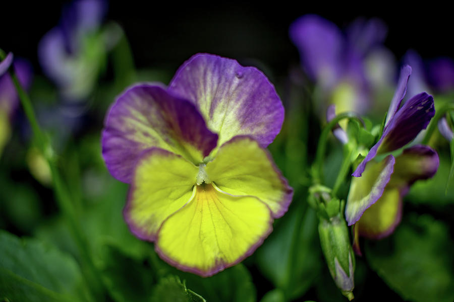 Flower Photograph - Purple And Yellow Bokeh by Howard Roberts