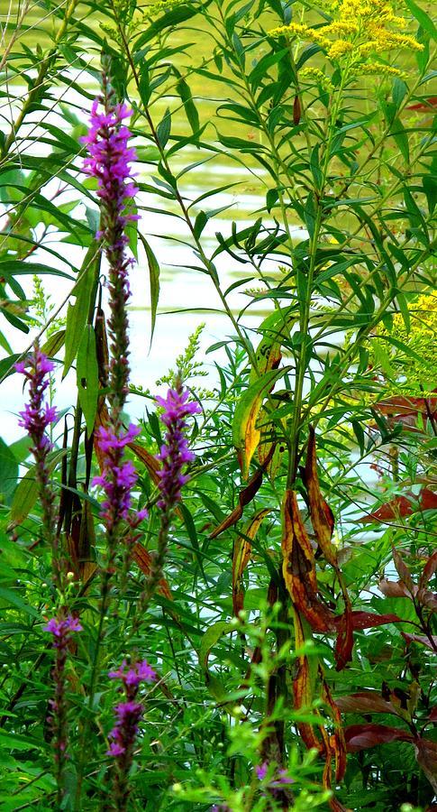 Purple Photograph - Purple And Yellow by Ian  MacDonald