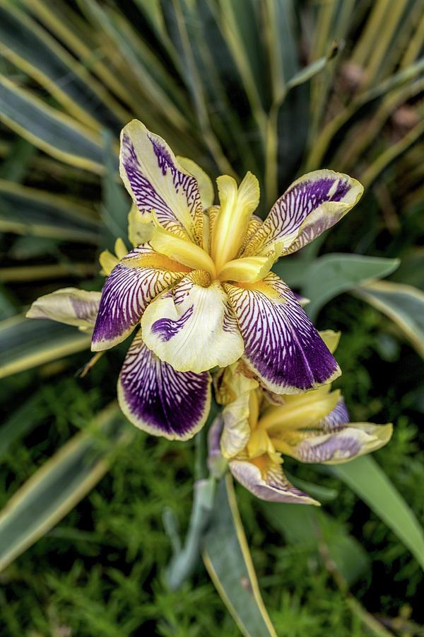 Purple And Yellow Iris Photograph