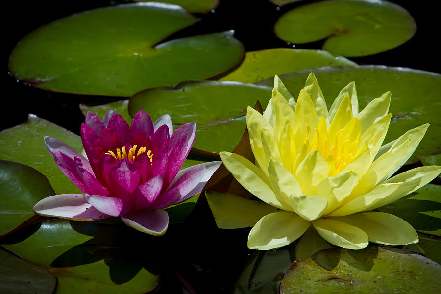 Purple And Yellow Lotus Photograph By Carl Jackson