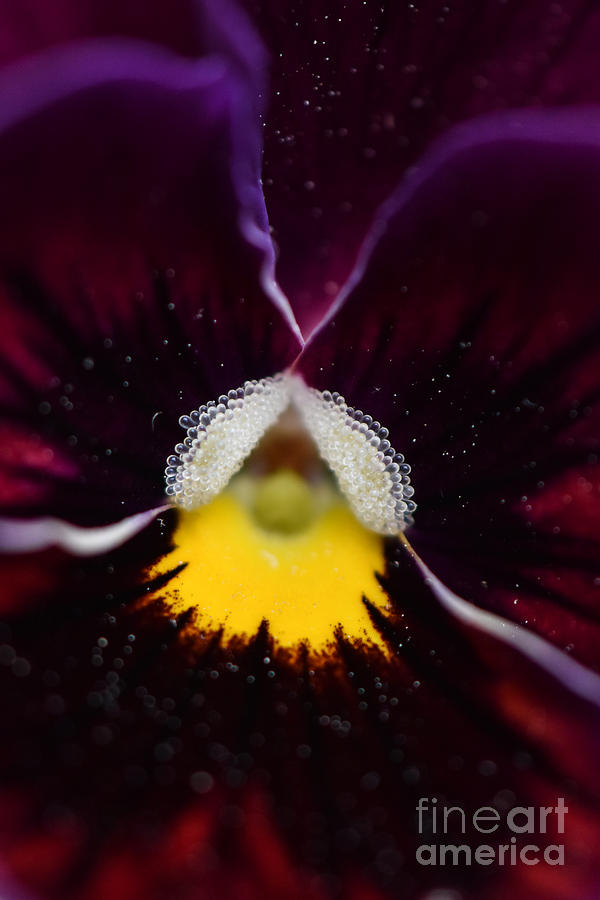 Pansy Photograph - Purple And Yellow Pansy by Patricia Gapske