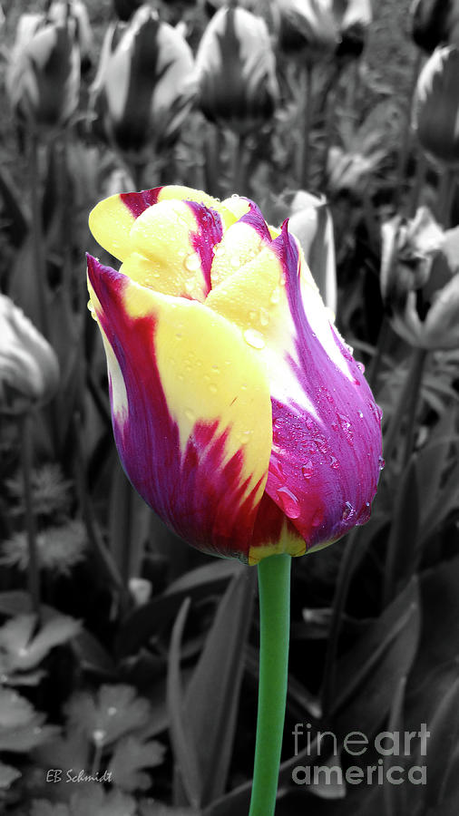 Tulip Photograph - Purple And Yellow Tulip by E B Schmidt