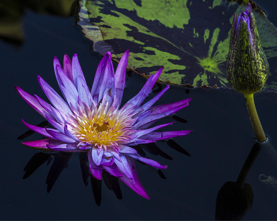Purple and Yellow Water Lily by Lindley Johnson