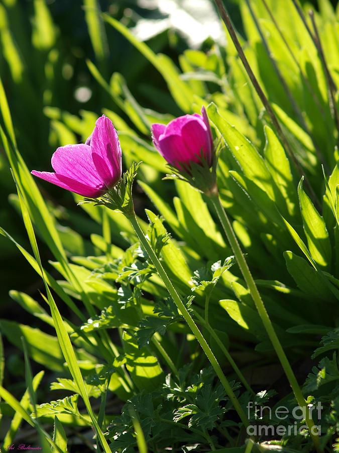 Purple Photograph - Purple Anemone by Arik Baltinester