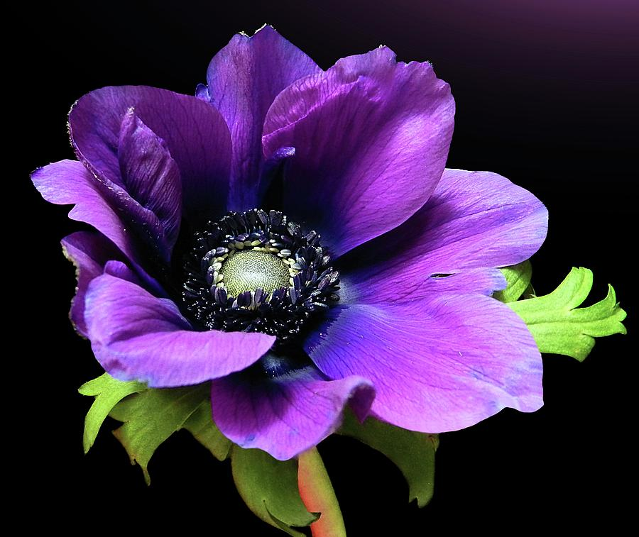 Horizontal Photograph - Purple Anemone Flower by Gitpix