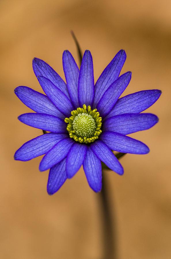 Purple Anemone by Steven Schwartzman