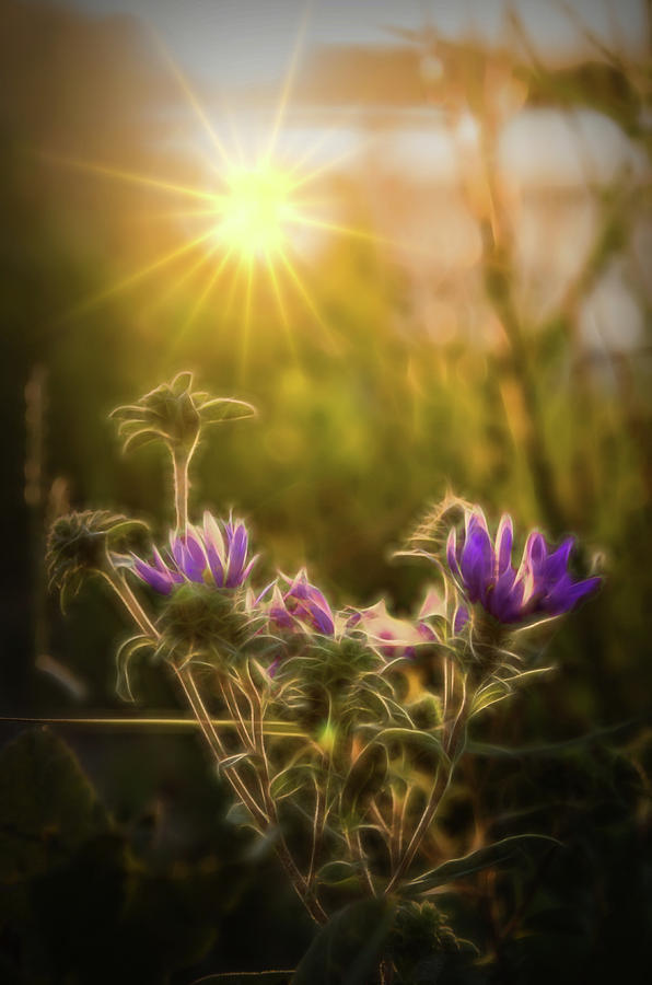 Purple Aster Glow by Beth Sawickie