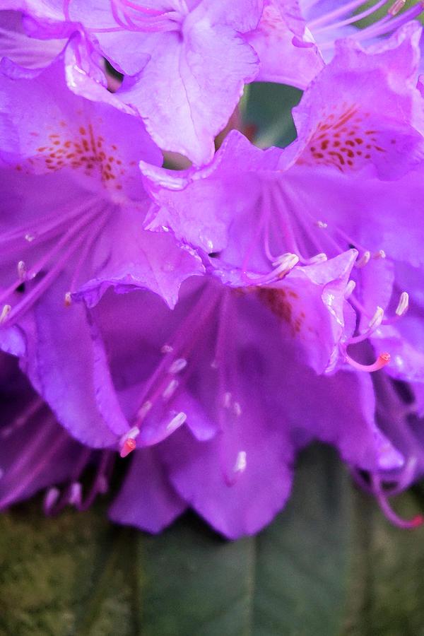 Purple Photograph - Purple Azalea by Lynne Guimond Sabean