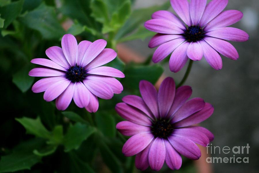 Flowers Photograph - Purple Beauty by Valia Bradshaw