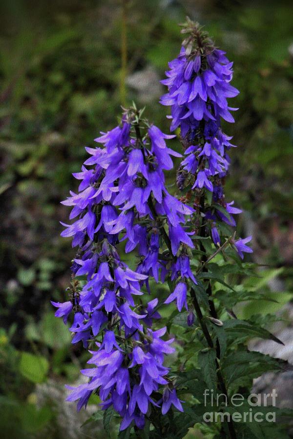 Perennial Photograph - Purple Bell Flowers by Sandra Huston