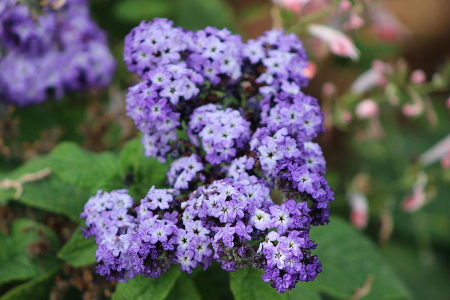 Butterfly Bush Photograph - Purple Butterfly Bush by Colleen Cornelius